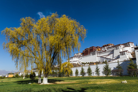 Beautiful big yellow willow tree and a dog walking on green field in front of Potala palace with blue sky in Lhasa,Tibet,China