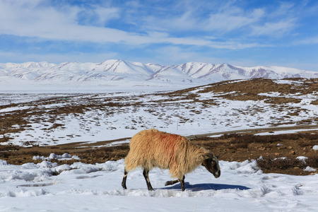 A sheep with red color mark on its back is looking for food on the ground covered with snow on the way to sacred Kailash mountain during the cloudy day and blue sky,Tibet,China Zdjęcie Seryjne