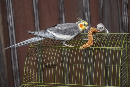 parot: Lovely parots couple on a green cage sharing meal together