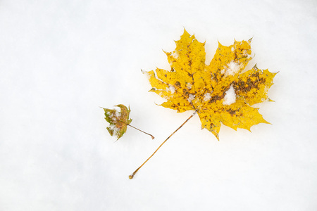 Maple leaf aka acer palmatum in autumn when the first snow fell Stock Photo