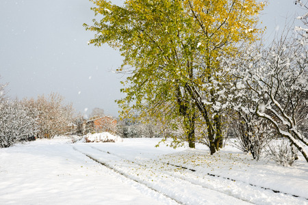 quercus: Quercus rubra - Red Oak tree with fallen leaves on snow on a country road in early November