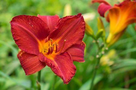 일 백합 꽃 일명 Hemerocallis 피 근접 촬영보기