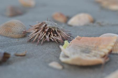 pilluelo: Erizo de mar varado en la playa