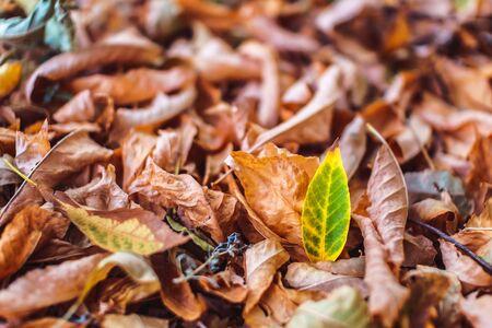Orange autumn fallen leaves lying on ground. Season specific concept, soft focus.