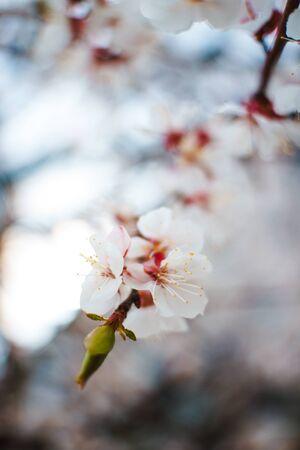 Sakura petals with bokeh softfocus. Cherry flowers on blurred background of light. inflorescence of sakura flowers. Spring bloom macro.