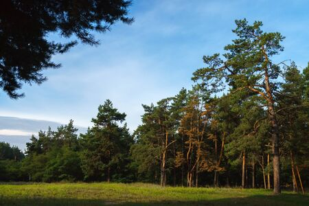 Pine forest in a sunny summer. Concept of beauty of nature and environment protection. 版權商用圖片