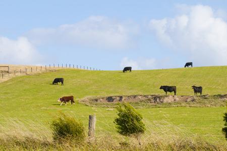 cow in the big grassland in australia photo