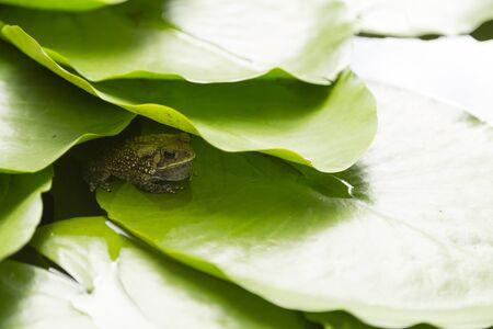 red eyed leaf frog: frog under leaf in the lake