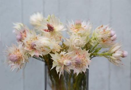 blushing: still life of blushing bride proten flowers grunge background Stock Photo