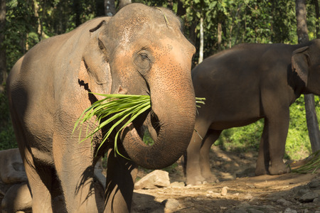 mahout: Elephant are eating at elephant camp in the morning, Chiang Mai, Thailand Stock Photo