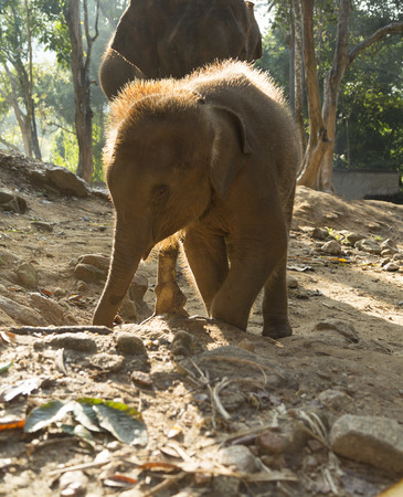 mahout: Elephant are  playing with them at elephant camp Stock Photo