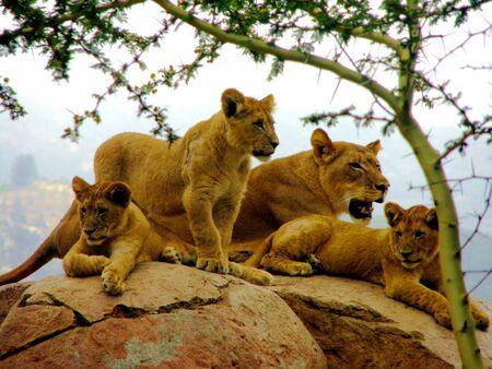 lion cub: Lion pride on rock.