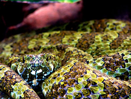 coiled: Coiled viper