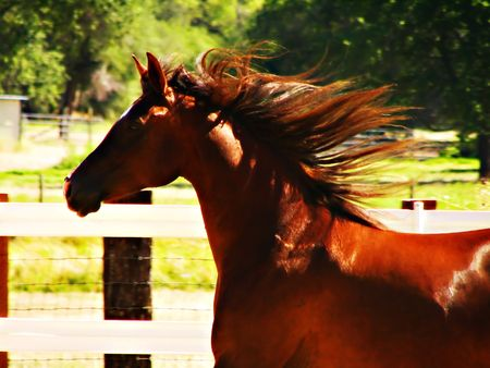 sustain: Galloping Arabian mare Stock Photo