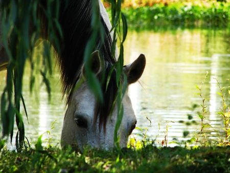 quarter horse: A white horse grazes by a pond under a willow tree. Stock Photo