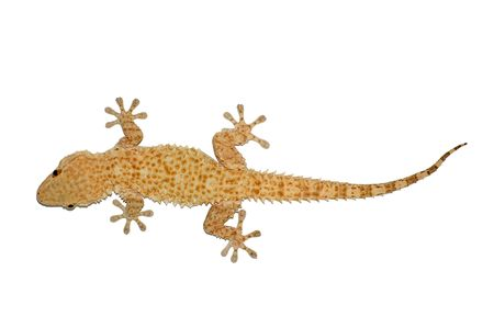 Small gecko reptile lizard against a white background.