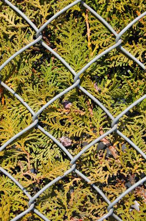 Metal chain link fence wire and fir tree texture background. Stock Photo - 3143601