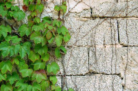 Verde hiedra crece sobre una pared de ladrillos de cemento. Concepto de fuerza de la naturaleza. Foto de archivo - 3469196