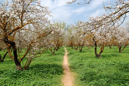 almond bud: Blooming almond trees in a park. Nature background.
