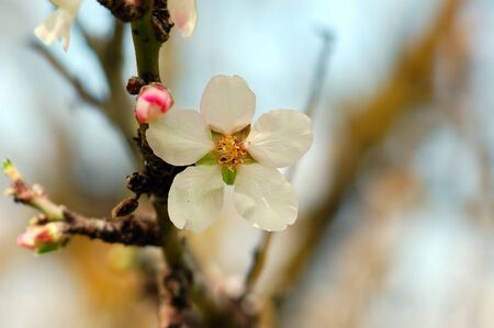 Blooming almond tree flower detail. Spring season background. Stock Photo - 4659838
