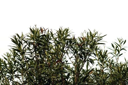 Oleander plant leaves silhouette against a white background. Stock Photo