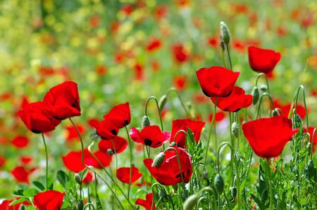 Field of blooming poppy flowers. Spring season background. Stock Photo
