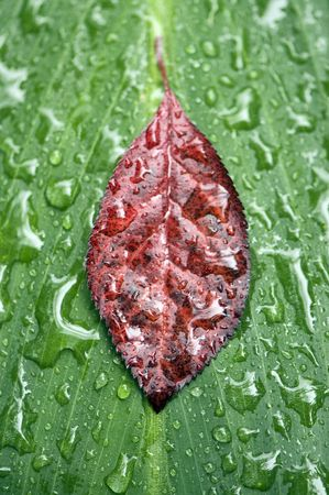 Green and red leaves with raindrops. Abstract natural background. photo