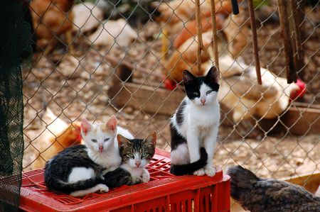 Cats and free range chicken at a farm. photo