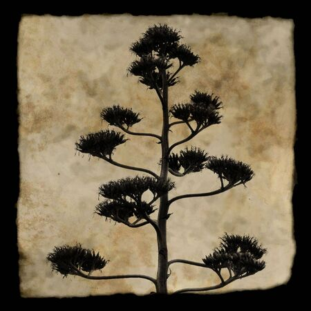 century plant: Agave americana century plant in bloom. Silhouette against textured background. Stock Photo