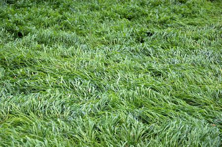 undulating: Grass undulating in the breeze. Abstract background.
