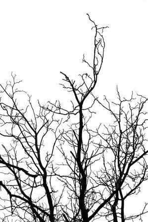 Leafless tree silhouette on white background. Stock Photo - 6249830