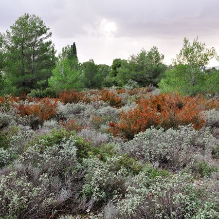 Field of sage herbs in a forest. Stock Photo - 6559471