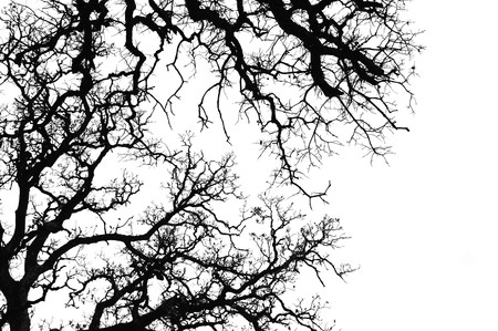 Oak tree branches silhouette. Black and white. photo