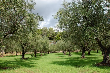 Rows of olive trees in the country. Stock Photo