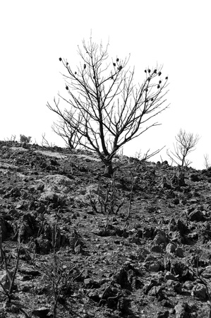 Charred pine tree silhouette after a forest fire. Black and white. Stock Photo - 8415427