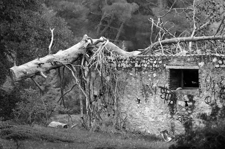 Fallen tree trunk on top of abandoned house in a forest. Black and white. Stock Photo - 8415428
