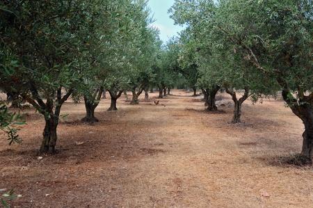 arboleda: Olivos y aves de corral al aire libre en el pa�s. Foto de archivo