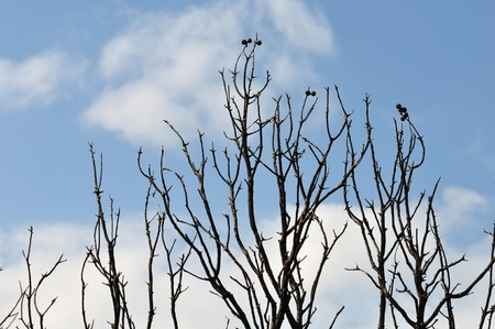 Burned tree branches silhouette under blue sky. Stock Photo - 9217104