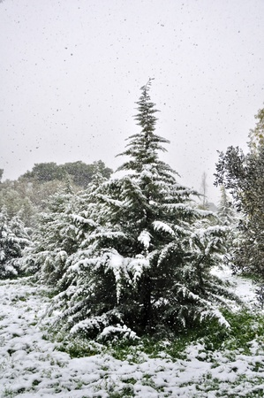 Fir tree and falling snow. Wintertime in a forest. photo