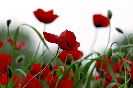 natural vegetation: Red poppy flowers in a field. Spring season background.