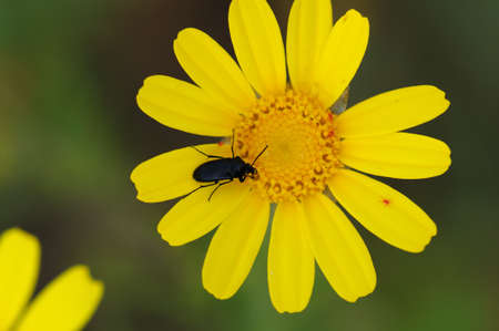 Beetle insect on blooming wild flower. Spring season background. Stock Photo - 9420846