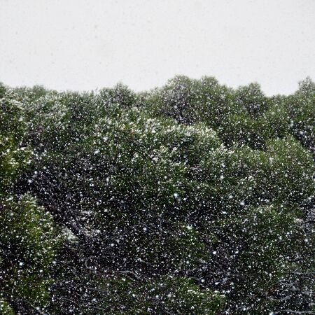 Dense snow storm in pine tree forest. Nature winter abstract. Stock Photo - 11579868