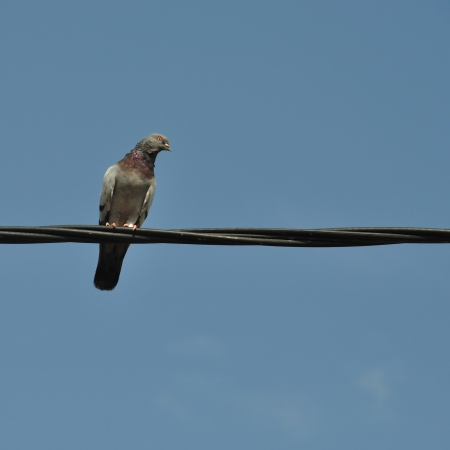 Pigeon bird on a wire. Abstract nature background. Stock Photo - 13897063