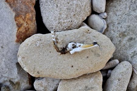 seabird: Seabird skull with hooked beak washed ashore on stone beach.
