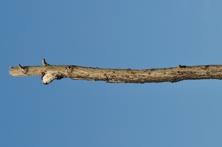 wooden stick: Wooden stick against blue sky background. Leafless tree branch detail.