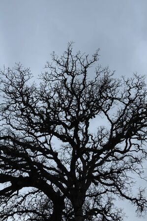 Oak tree branches silhouette and overcast winter sky. Stock Photo - 16452385