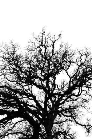 Oak tree branches silhouette on white background  Nature abstract