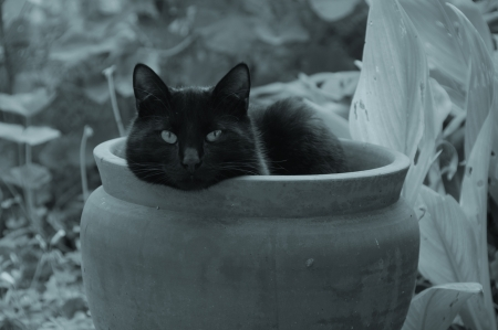 sheltering: Sleepy black cat sheltering from cold winter wind in a flowerpot. Stock Photo