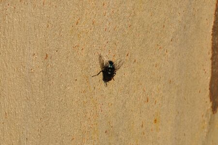 warble: Black fly on tree trunk. Winged insect closeup.
