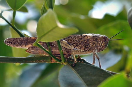 Grasshopper hidden among leaves on tree branch. Stock Photo - 17122202